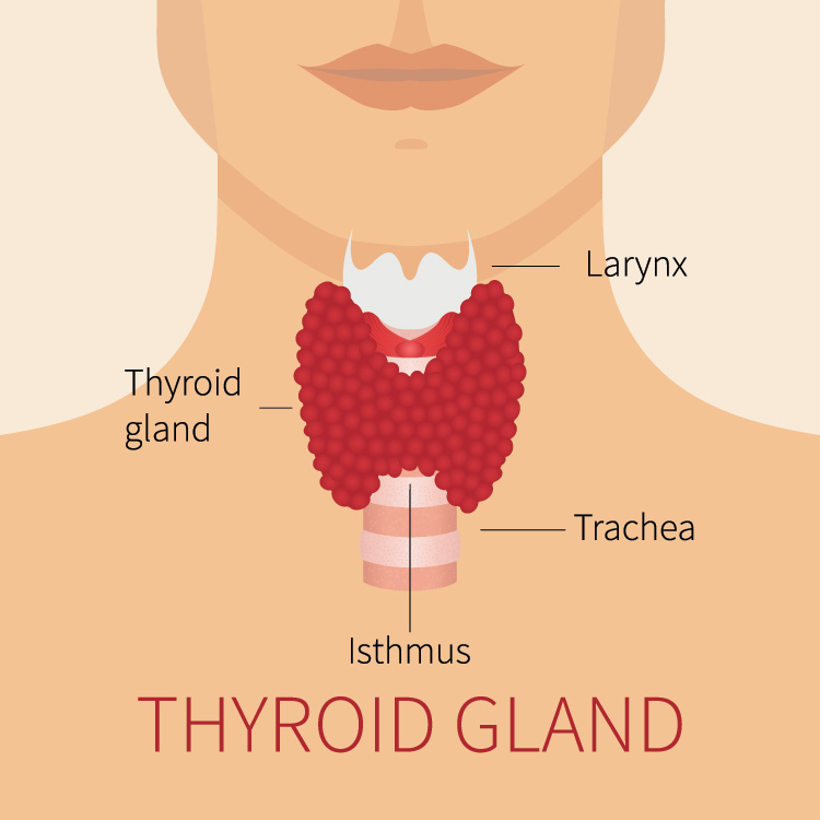 This is the appearance of a healthy functioning thyroid gland.